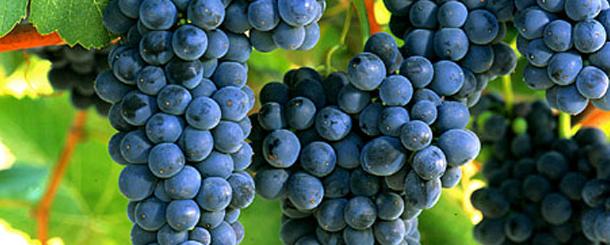 syrah wine grapes