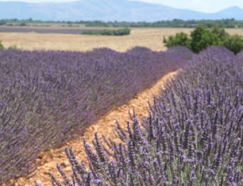 Leaping into Lavender