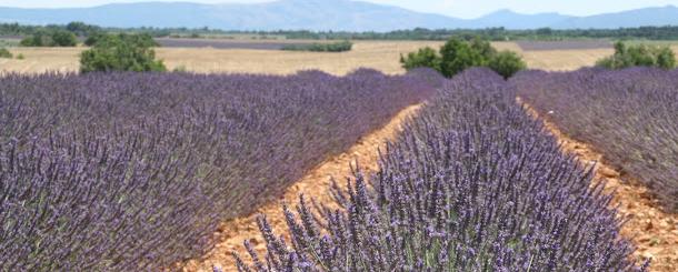 lavender tour